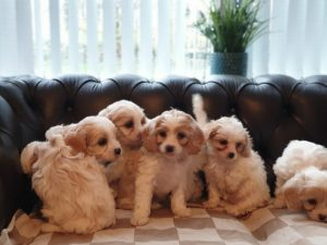 stunning-cavachon-puppies-5e4cf034a52be.jpg