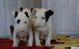 Bull Terrier Puppies 1.jpg