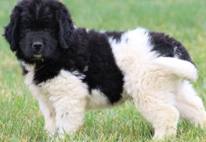 Newfoundland puppy ready to be loved by you!.jpg