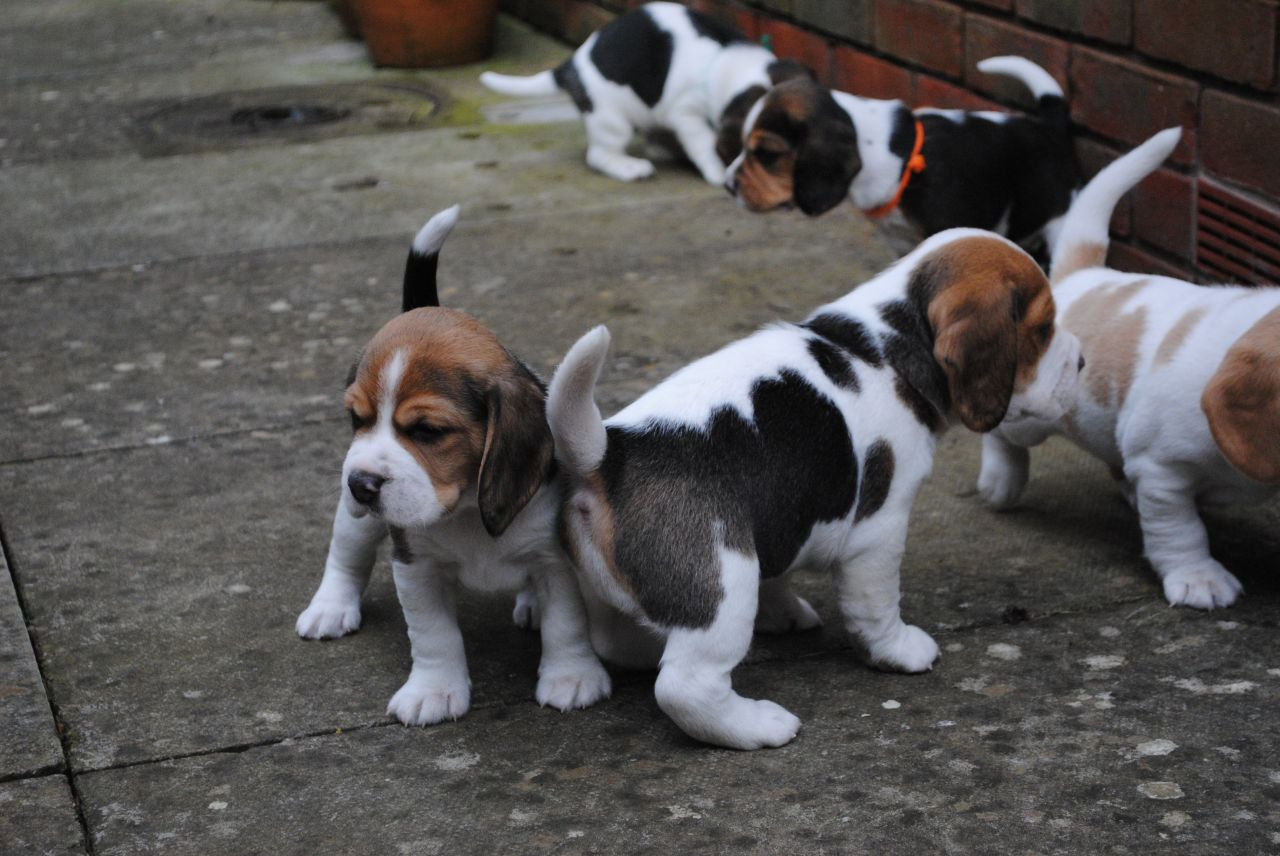 beautiful-beagle-puppies-for-sale-5520660c3077c.jpg