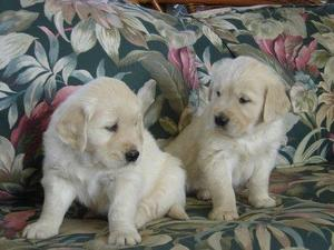 only-1-boy-and-1-girl-left-golden-retriever-puppies-for-sale-17673728-1_300X225.jpg