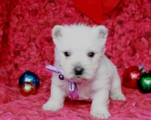 3245863-west-highland-white-terrier-puppies-for-sale